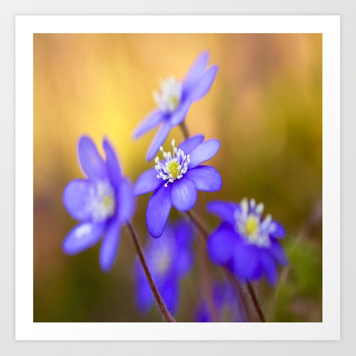 Spring Wildflowers, Beautiful Hepatica in the forest on a sunny and colorful background Art Print