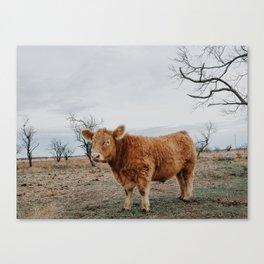 Fluffy cow Canvas Print