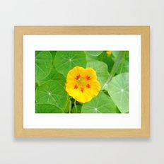 Yellow Nasturtium Framed Art Print
