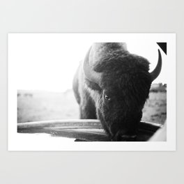 just a young buffalo Art Print