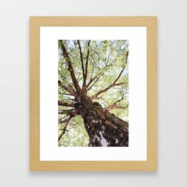 Old Birch in Spring Framed Art Print