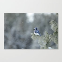 Blue Jay in Algonquin Park Canvas Print
