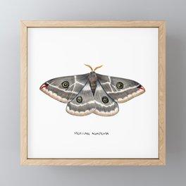 Mexican Agapema  (Agapema anona) Framed Mini Art Print