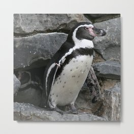 Humboldt Penguin Close-up Photo Metal Print