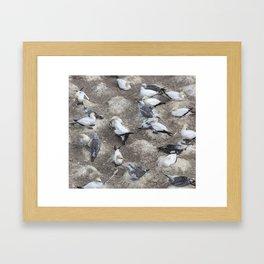Gannet Colony Framed Art Print