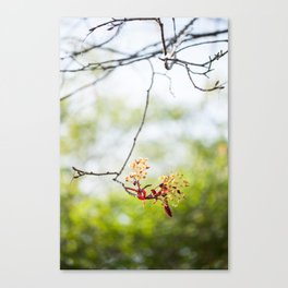 Maple Puff Canvas Print