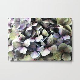 hydrangea flower macro Metal Print