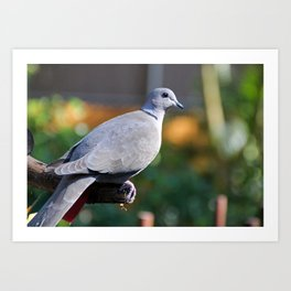 Eurasian Collared Dove Art Print