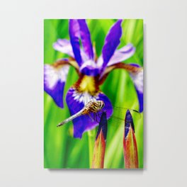 Dragonfly on purple English iris Metal Print