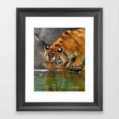 A thirsty Amur tiger. Framed Art Print