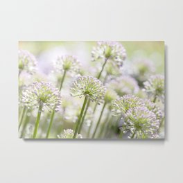 Allium - Onion Flowers 5 Metal Print