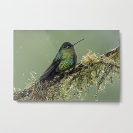 Fiery Throated Hummingbird perched in the Costa Rican Rainforest Metal Print