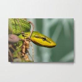 green rat snake (Gonyosoma oxycephalum) Metal Print