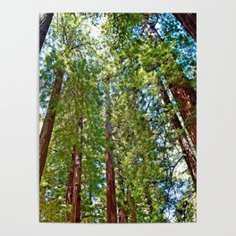 Muir Woods Study 18 Poster