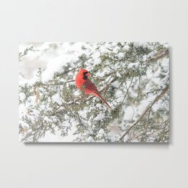 Cardinal on a Snowy Cedar Branch Metal Print