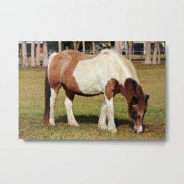 American Paint Horse Metal Print