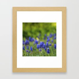 Grape Hyacinth in Spring Framed Art Print