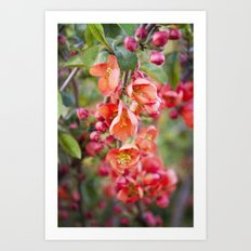 Quince blossom Art Print