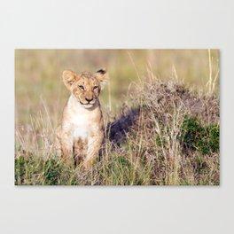 Young lion Canvas Print