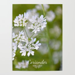 Coriander in flowers VI Poster