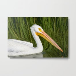 The American White Pelican Metal Print