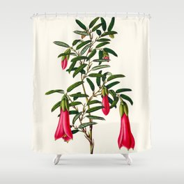 Philesia Buxifolia Vintage Scientific Botanical Flower Illustration Hand Drawn Art Shower Curtain