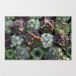 Sempervivum Canvas Print