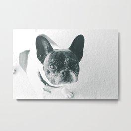A Happy French Bulldog Metal Print