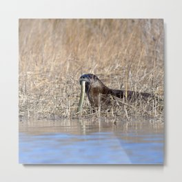 Watercolor Otter 05, Janes Island, Maryland Metal Print