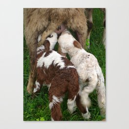 Twin Lambs Suckling From Their Mother Canvas Print