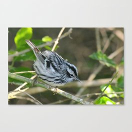 Black & White Warbler Canvas Print