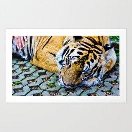 Tired Tiger Art Print