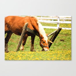 Beautiful Horse wanting some Dandelions Canvas Print