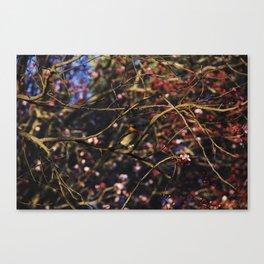 Robin in Cherry Tree Canvas Print