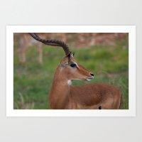 Kenyan Gazelle Art Print