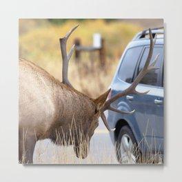 Watercolor Elk Bull 74, Estes Park, Colorado, Close Encounter Metal Print