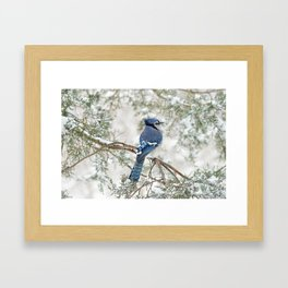 Snow Jay: American Blue Jay Framed Art Print