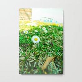 Daisies in Clinch Park - Traverse City, Michigan Metal Print