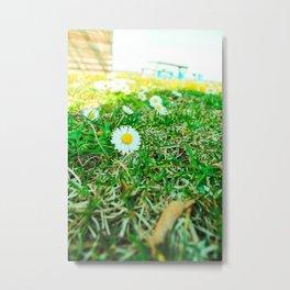 Daisies in Clinch Park - Traverse City, Michigan Metal Print