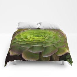 Aeonium virgineum Comforters
