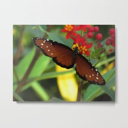 Butterfly queen monarch on milkwed photo Metal Print