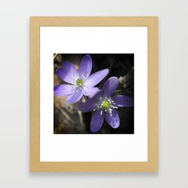 Woodland hepatica, Anemone acutiloba - a sure sign of spring Framed Art Print