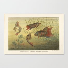 Paradise Fish Scene from 1887 Lithograph (Macropodus Viridi Auratus) Canvas Print