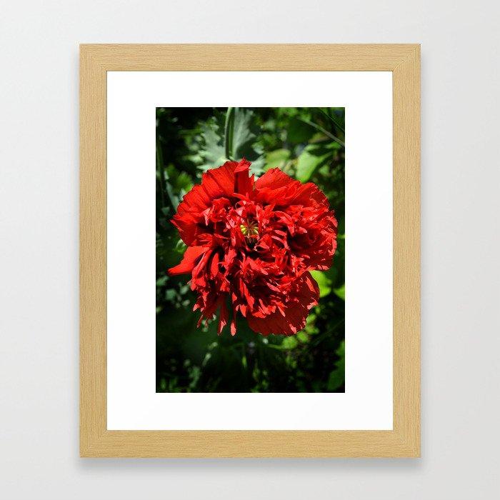 Crimson Peony Poppy Framed Art Print