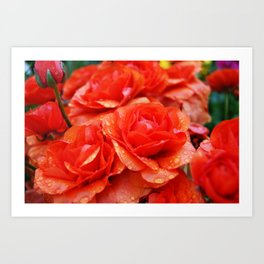 Orange Ranunkels Art Print