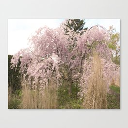 The Weeping Cherry Tree Canvas Print