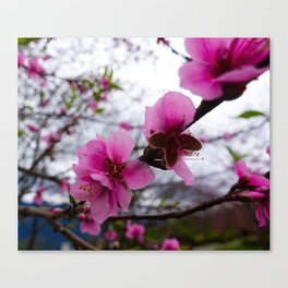 Pink Cherry Blossoms in Taiwan Canvas Print