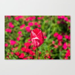 Close up of marble-like pink tulip surrounded by colourful flowers Canvas Print