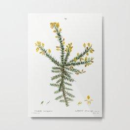 Gorse (Ulex europaeus) from Traite des Arbres et Arbustes que lon cultive en France en pleine terre Metal Print