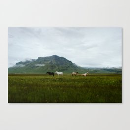 Icelandic Horses Posing for a Photo Canvas Print